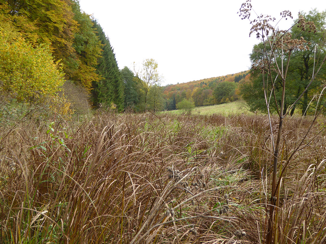 Waldsimsen-Sumpf