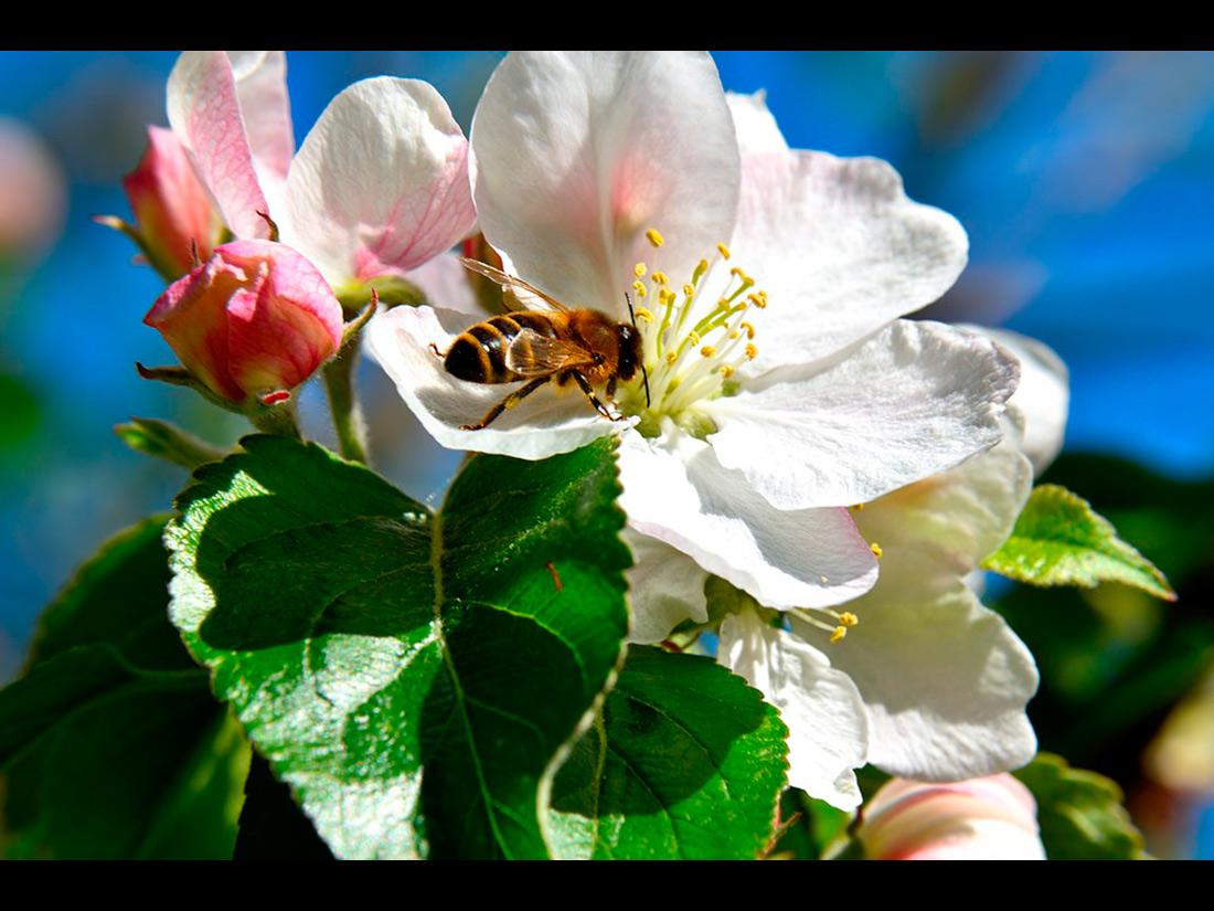 Honigbiene bestäubt die Apfelbaumblüte