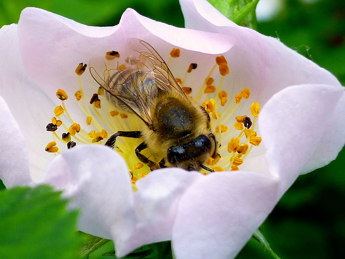 Honigbiene auf Wildrosenblüte