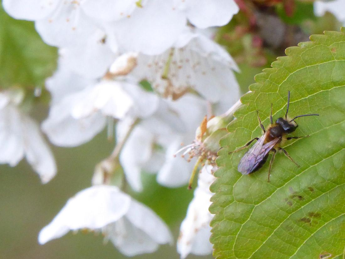 Wildbiene auf Wildkirsche